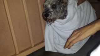 Blind/ Deaf Schnauzer Dog Rescue On Rainy Vegas Day