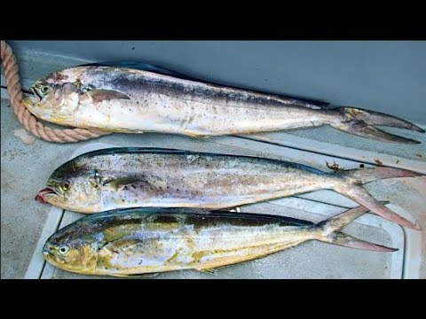 Mahi Mahi Fishing In Barbados Deep Sea