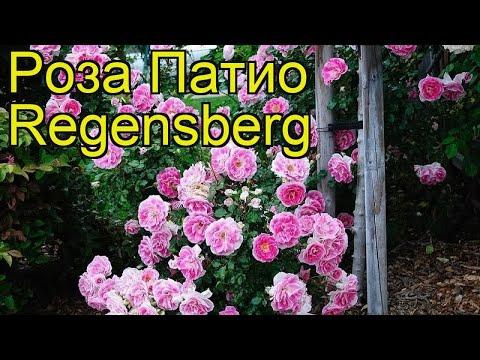 Роза патио Патио Регенсберг. Краткий обзор, описание характеристик, где купить саженцы