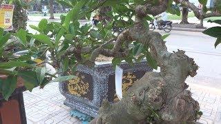 Cây nhỏ nhưng ở đỉnh cao, khác biệt của triển lãm SVC lần này - wonderful mini bonsai trees