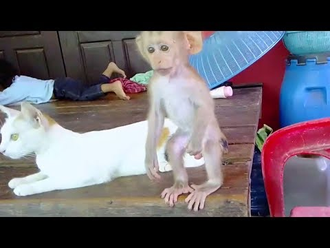 Monkey Midi Playing With Cat So Hard So Cry