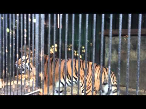 Тигр / tiger. (Одесский зоопарк / odessa zoo)