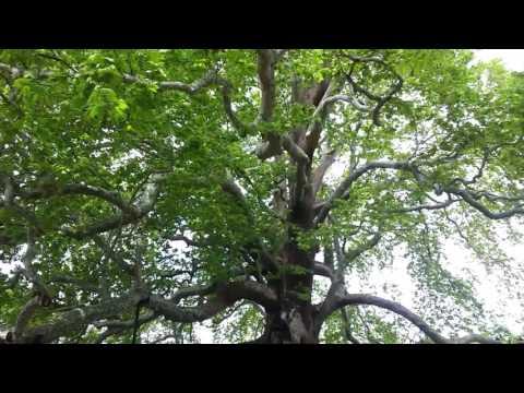Tarihi çınar Ağacı Bursa