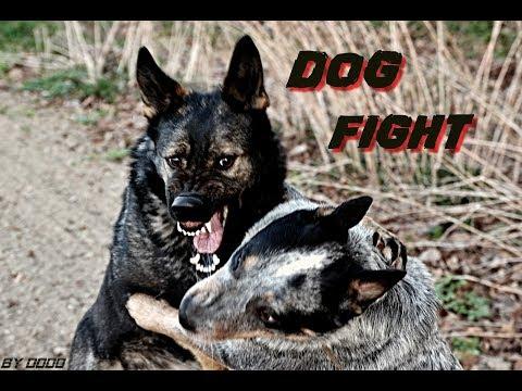 Elizabeth (German Shepherd) & Jack (Australian Cattle Dog) DOG FIGHT