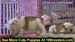 English Bulldog, Puppies, For, Sale, In, Cincinnati, Ohio, Oh, Westerville, Huber Heights, Lima, Lan