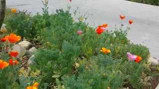 Landscape with California Poppies