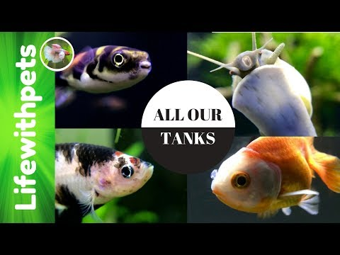 All Our Tanks In Depth. Betta Fish, Guppies, Amazon Puffers Goldfish  And More!