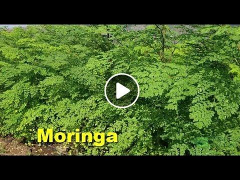 How To Grow Moringa Step By Step - Kenya