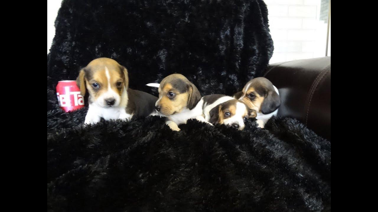 Tiny miniature pocket beagle puppies beagles playing 6 week old tiny miniature pocket beagle puppies beagles playing 6 week old puppy cute playful video youtube voltagebd Image collections