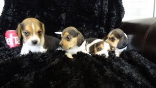 Tiny Miniature Pocket Beagle Puppies Beagles Playing 6 Week Old Puppy Cute Playful Video
