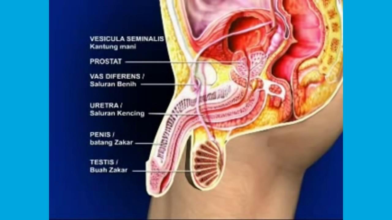 sistem reproduksi pria l proses ereksi pada pria impotensi