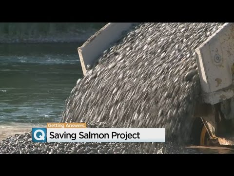 Federal Project Aims To Increase Salmon, Trout In American River