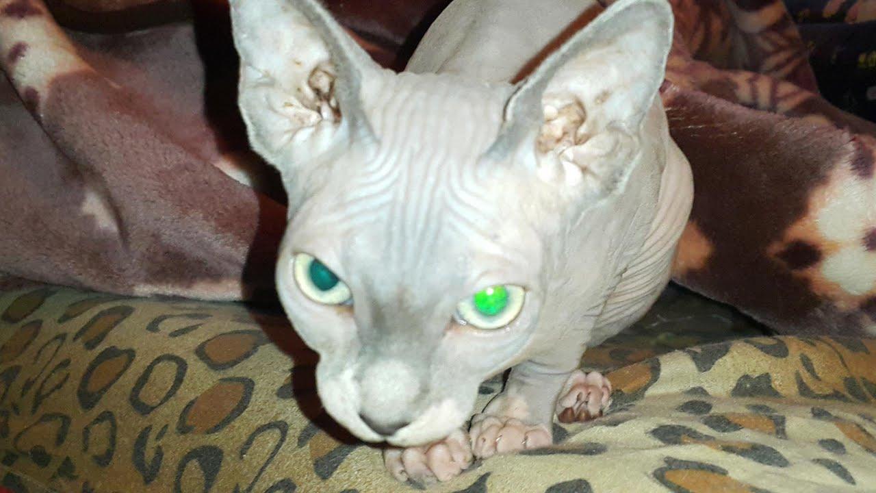 قط بيتربالد سلالات القطط 2021