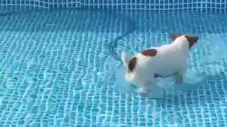 大きなプールに水を入れ始めた まだ浅いので短足犬は水遊びに丁度いい!...