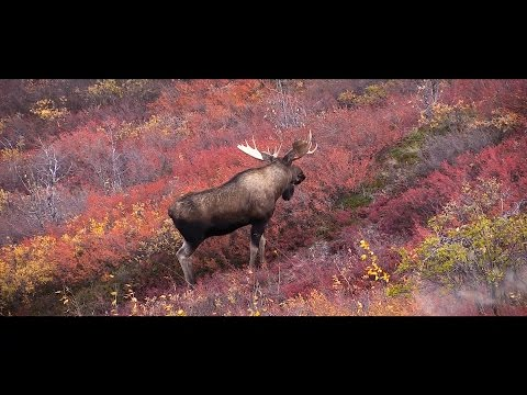 Canadian Double - Hunting Moose And Caribou