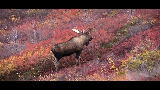 connectYoutube - Canadian Double - Hunting Moose and Caribou