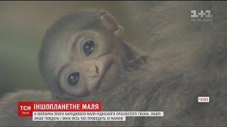 У празькому зоопарку народився рідкісний малюк сріблястого гібона
