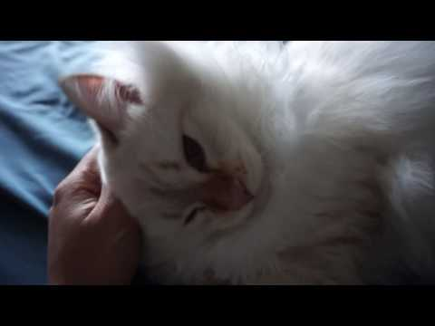 Affectionate Adorable Cutest Siberian cat begs to cuddle, loud purr, 8 month old