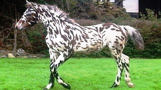 Check out the world's rarest horse breeds ever! From amazing and ex...