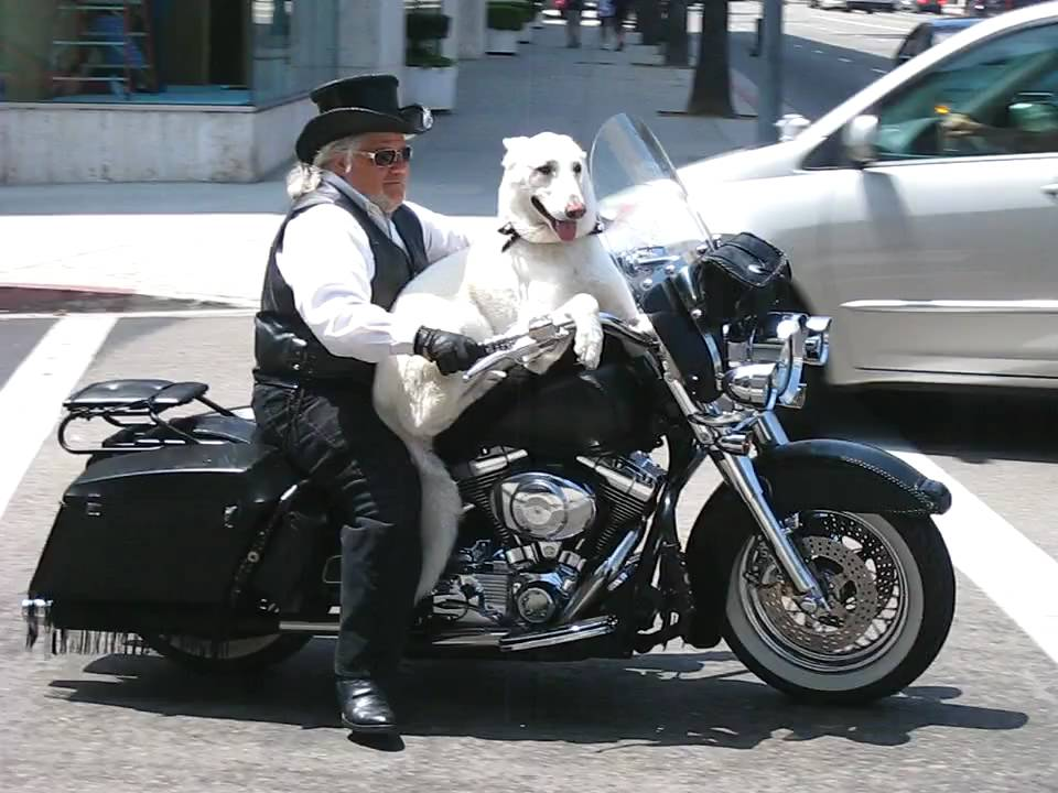 Man And His Dog Riding A Motorcycle Decked Out In Leather