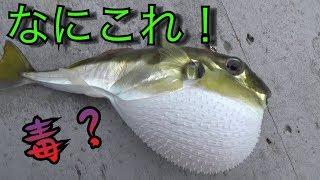 深海から謎のフグが釣れたので、さばいて食べてみたら・・・・【ジギング】