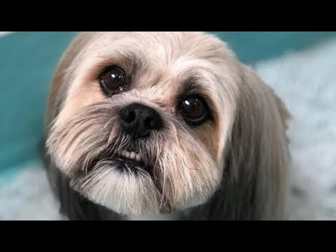 Amazing Facts on Lhasa Apso | In Hindi | Dog Facts | Animal Channel Hindi