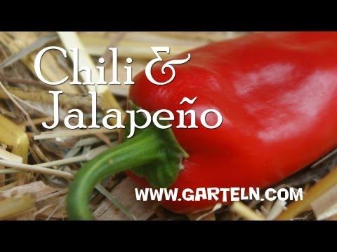 aussaat und anzucht paprika und chili pflanzen fensterb. Black Bedroom Furniture Sets. Home Design Ideas