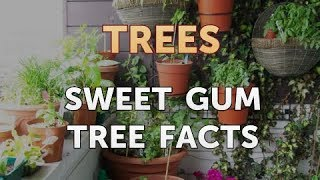 Sweet Gum Tree Facts