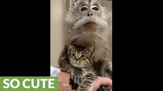 Monkey preciously harbors newly rescued kitten