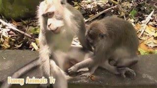Nuotaikingas rinkinukas su gyvūnais / Beždžionės / Poravimosi ypatumai #02
