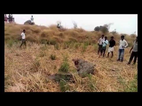 Sansad Maun Hai: Crocodile crawls into Yadgir village for water, killed