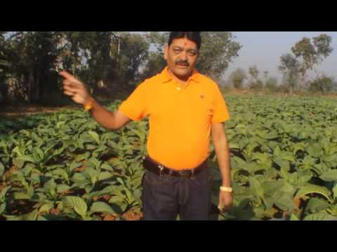 45% more yield in Tobacco @ Dhabasigam, near Borsad Gujarat state