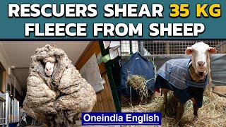 Overgrown sheep saved by shearing 35 kg massive fleece | Oneindia News