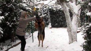Owczarek niemiecki - zimowy skok po patyk