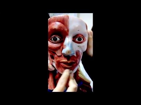 Giải phẫu cơ thể người PHẦN CƠ (FULL HD)