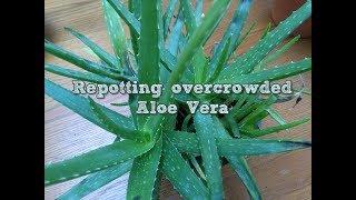 Video Repotting overcrowded Aloe Vera download MP3, 3GP, MP4, WEBM, AVI, FLV Juli 2018