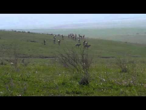 Coyote & Elk In Carrizo Plains