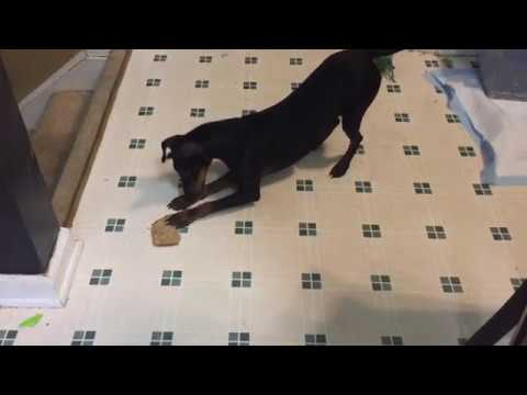 Felix the Manchester Terrier vs. A Piece of Bread