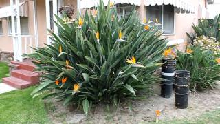Birds of Paradise Flowers/ Plant