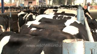 Dairy cows feed on fodder at a dairy farm, Punjab