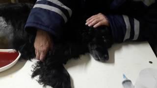 Асцит (водянка) у собаки. Спаниель 12 лет.