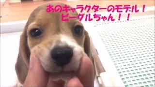 ペットショップ マルワン相模大塚店 ビーグル メス 2016/8/5生まれ とー...