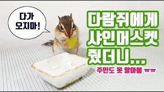 다람쥐에게 진짜 맛있는 걸 주면 일어나는 일.. (feat.샤인머스켓)