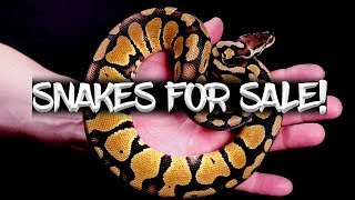 22 Ball Pythons for Sale!