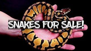 22 Ball Pythons for Sale!