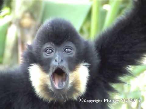 Gibbon Call