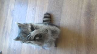 Melanie Raccoon doing somersaults/tricks