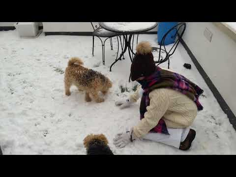 Lakeland Terriers in the snow