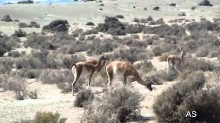 Guanacos (Lama guanicoe), Punta Tombo, Argentina, fev/2009,por Antonio Silveira