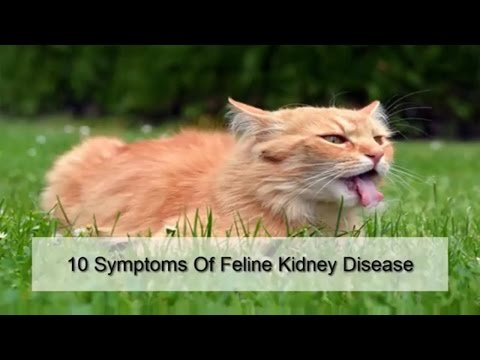 10 Symptoms Of Feline Kidney Disease